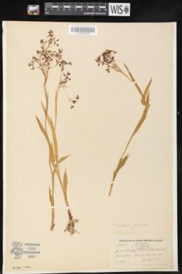 Image of Luzula glabrata