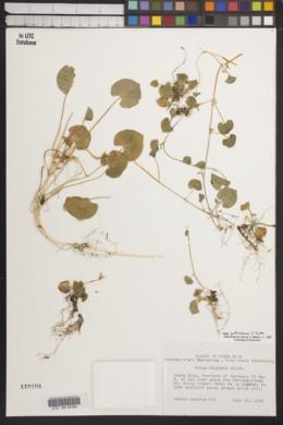Image of Viola guatemalensis