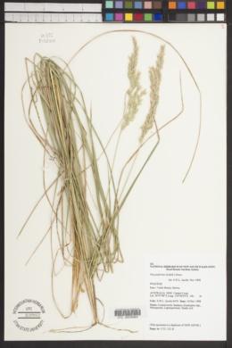 Image of Poa poiformis