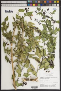 Solanum dulcamara var. dulcamara image