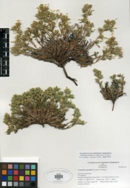 Image of Oreocarya revealii