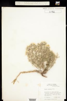 Ipomopsis roseata image