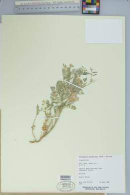 Image of Astragalus pardalinus