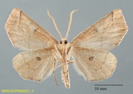 Caripeta macularia image