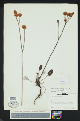 Eriogonum nudum var. nudum image