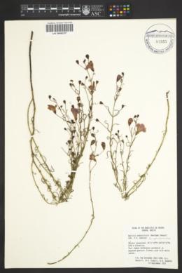 Agalinis peduncularis image