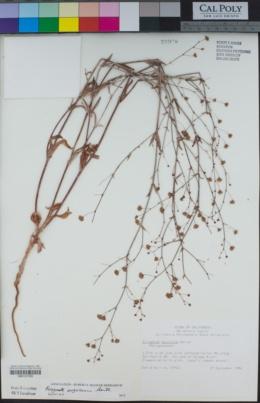 Eriogonum angulosum image