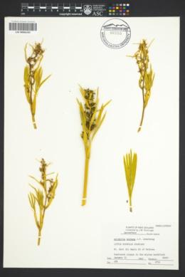 Image of Aciphylla montana