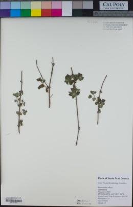 Monardella villosa subsp. franciscana image