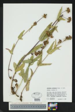 Image of Penstemon attenuatus