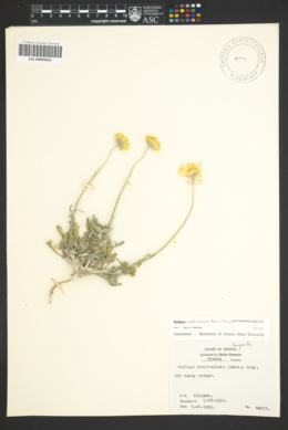 Baileya multiradiata var. multiradiata image
