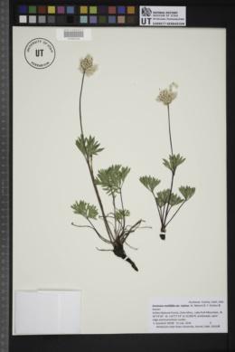 Anemone multifida var. stylosa image