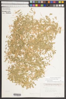Stellaria calycantha image