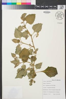 Image of Solanum douglasii