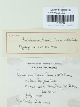 Image of Lophodermium phlogis