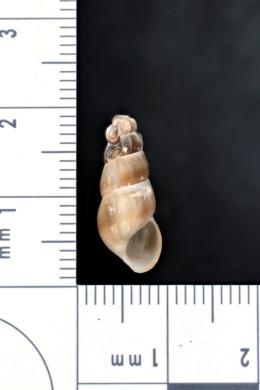 Image of Juga hemphilli