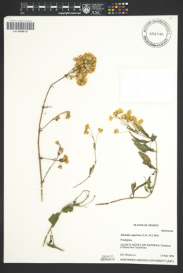 Image of Brickellia squarrosa