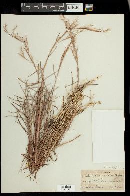 Image of Schizachyrium maritimum