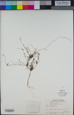 Ipomoea costellata image