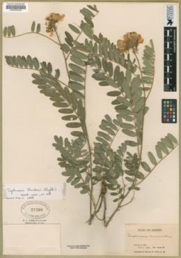 Tephrosia thurberi image