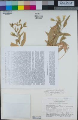 Acourtia fragrans image