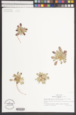 Glyptopleura marginata image