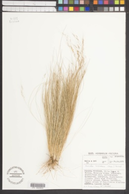 Nassella trichotoma image