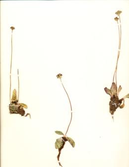 Image of Saxifraga aprica