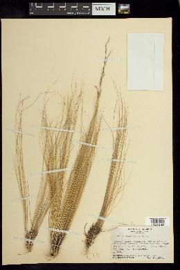 Nassella tenuissima image