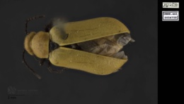 Image of Nemognatha lutea