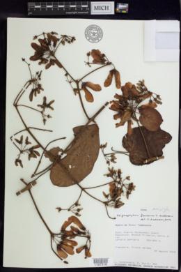 Image of Stigmaphyllon florosum