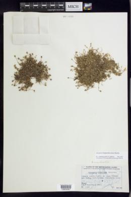 Arenaria longipedunculata image