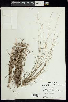 Digitaria hitchcockii image