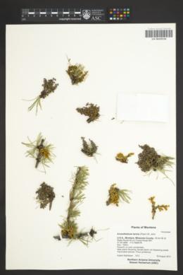 Arceuthobium laricis image