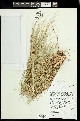 Pappostipa speciosa image