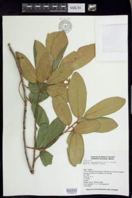 Prunus ferruginea image
