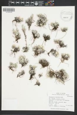Antennaria rosulata image