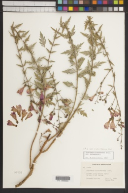 Penstemon richardsonii image