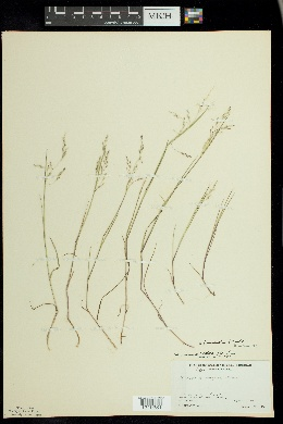 Puccinellia fernaldii image