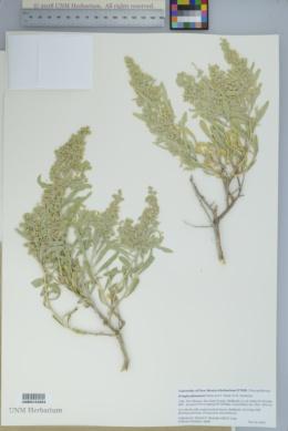 Image of Grayia plummeri