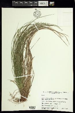 Carex polystachya image