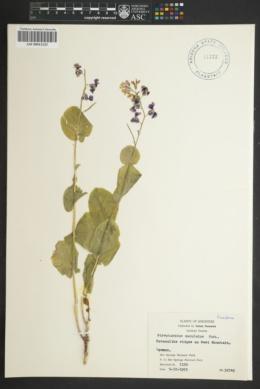 Image of Streptanthus maculatus