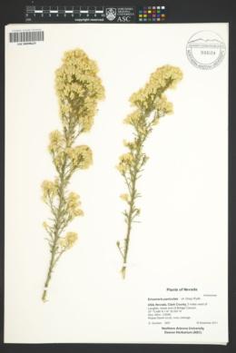 Ericameria paniculata image