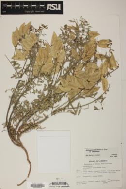 Astragalus allochrous var. allochrous image