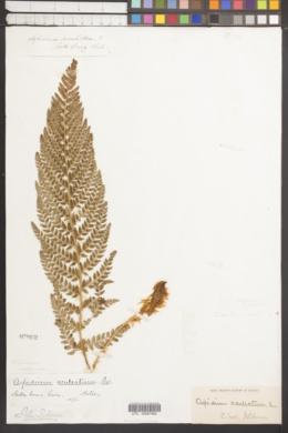 Image of Polystichum californicum