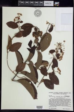 Banisteriopsis adenopoda image