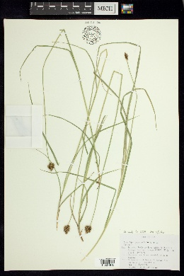 Image of Carex orizabae