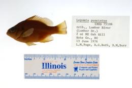 Lepomis punctatus image