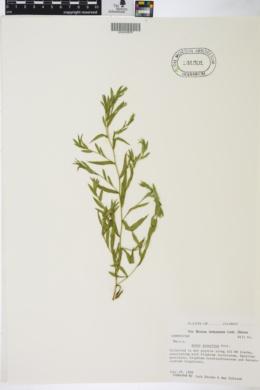 Symphyotrichum praealtum var. praealtum image