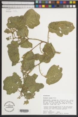 Solanum viarum image